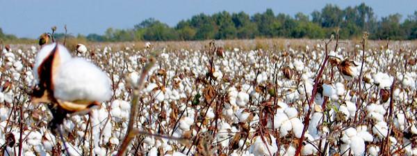 El Chaco busca mantener la comercialización de algodón y aumentar su siembra para la próxima campaña.