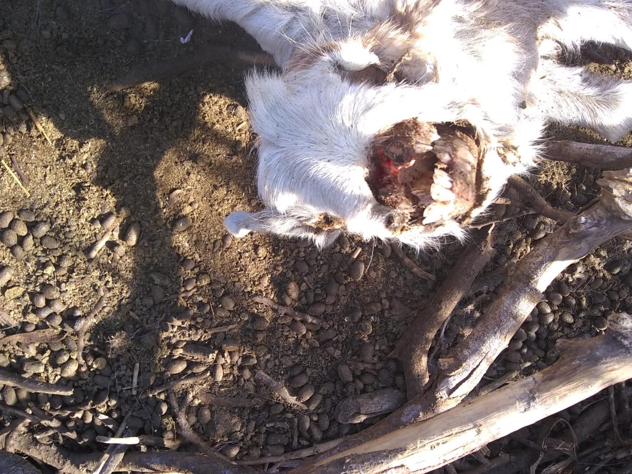 Cabrito atacado por chupacabras en Los Juríes